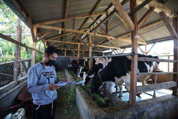 kandang sapi perah